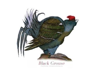 Black Grouse - signed print